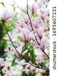 Blossom Of Magnolia Tree In The ...
