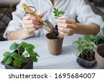 Small photo of Healthy organic food concept. Close up of hands children hold seedling tomato In peat pot. Seedling green plant of tomato. Springtime. Girl shovels ground around sprout. Gardening on the balcony