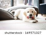 Stock photo golden retriever puppy at home 169571327