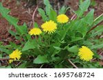Flowers Yellow Dandelion ...