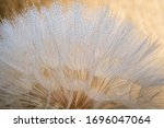 Close Up Of Giant Dandelion...