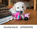 Stock photo golden retriever puppy playing inside 169606481