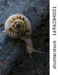 Small photo of Snail macro photo. Snail in its natural habitat. Snails in the grass. Snail on the pavement. Snails in an urban environment. Snails in motion.