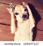 Stock photo a cute chihuahua rubbing his paws on his face in the sun 169657127