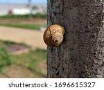 Snail Hibernating On Gray Tree...