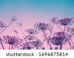 Dry Heracleum Plant Against...