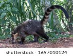 Coati Foraging For Food On...