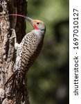 Small photo of Northern or Common Flicker with tongue out