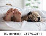 Cute Pug Dog Breed Lying On...