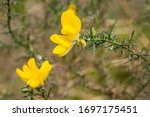 Close Up Of Common Gorse...