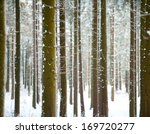 Pine Trunks In Winter Forest A...