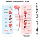 Human Peripheral Autonomic...