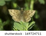 Small photo of Carcharodus alcae / Mallow Skipper