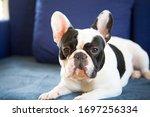 Cute French Bulldog Sits Indoor ...