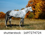 Grey  Rhld Breed Horse ...