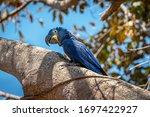 A Beautiful Hyacinth Macaw...