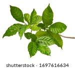 Gardenia Augusta Leaf Cape...