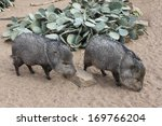 A Collared Peccary Or Javelina...