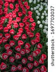Small photo of Pink and White tulips, tulips meadow, flowery background, flowery meadow