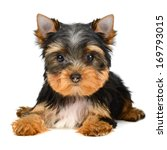 Yorkshire Terrier Puppy The Ag...