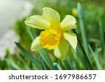 Big Yellow Daffodil Flower...