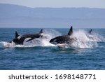 Killer Whale   Orcinus Orca
