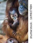 An Orangutan Baby Under Mother...