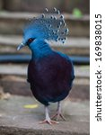 Victoria Crowned Pigeon. Exoti...