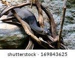 captive mertens's water monitor ... | Shutterstock . vector #169843625