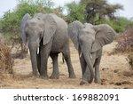 Elephant Pair Eating Dry Grass...