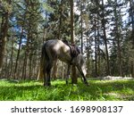 Arabian Horse Eats Grass In Th...
