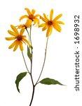 jerusalem artichoke  sunchoke    Shutterstock . vector #1698932