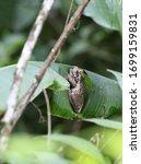 Veined Tree Frog ...