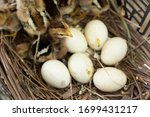 Small photo of Newly hatched baby chicken,Cute chicks hatch from eggs,Chicken hatching eggs.