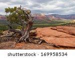 Manzanita Tree In The Region Of ...