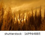decorative grass backlit by a... | Shutterstock . vector #169964885