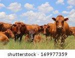 bonsmara cattle in the field ... | Shutterstock . vector #169977359