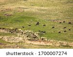 A herd of buffalo crossing the plains