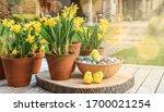 Daffodils In Flower Pots ...