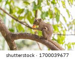 Plantain Squirrel Eats Fruit On ...
