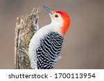 Red Bellied Woodpecker In The A ...