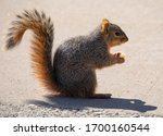 Eastern Fox Squirrel Looking...