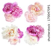 Stock photo peonies flower isolated on white background 170047091