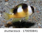 Black-banded Damselfish (Amblypomacentrus breviceps) in the waters of indonesia - stock photo