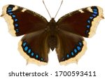 Nymphalis Antiopa Butterfly ...