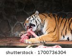 Amur Tiger In The Process Of...