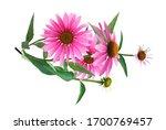 Pink Coneflower  Echinacea...