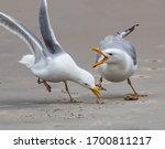 Two Herring Gulls Fight Over...
