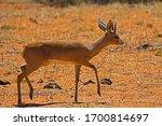 Dainty Steenbok Male Antelope...