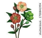 hellebore flowers on a white... | Shutterstock . vector #1700841994